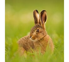 Young hare by Simon Litten