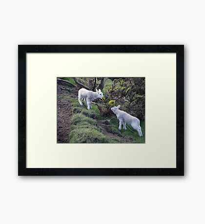 Lambs Puppy Food - Donegal Ireland  Framed Print