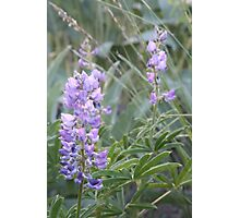 Idaho Lupine1 Photographic Print