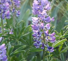 Idaho Lupine 2 by Forrest  Ray