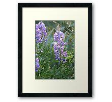 Idaho Lupine 2 Framed Print