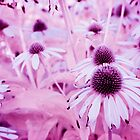 Echinacea Flowers in IR by intfactory