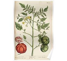 A curious herbal Elisabeth Blackwell John Norse Samuel Harding 1737 0342 Love Apple or Tomato Poster