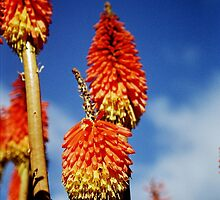 Red Hot Pokers by ardwork