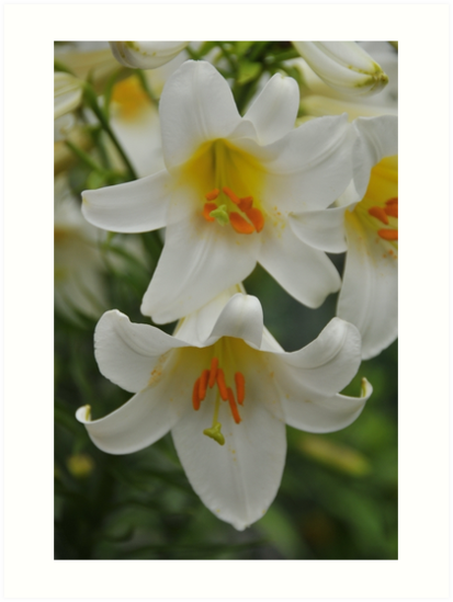 """Trumpet Lily """"Regale Alba"""" by Michael Cummings"""