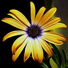 African Daisy for DS by myrbpix