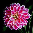 Pink Dahlia for LD by myrbpix