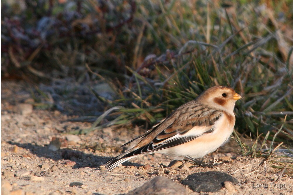 Snow Bunting (winter plumage) by Larry Trupp