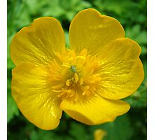 buttercup and aphid Photographic Print