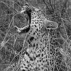 Yawning Leopard by Heather-Jayne