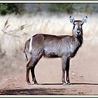 Waterbuck Pilansberg by ten2eight