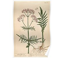 A curious herbal Elisabeth Blackwell John Norse Samuel Harding 1739 0054 Wild Valerian Poster