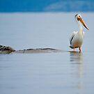White Pelican by Jane Best