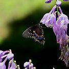 Black Beauty by CMCetra