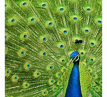 Peacock - Yes I am following you for a reason Photographic Print