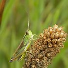 Grasshopper 2 by rhian mountjoy