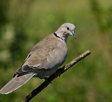 Collared Dove by M.S. Photography/Art