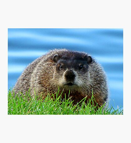 WOODCHUCK  Photographic Print