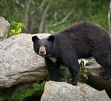 American Black Bear in Blue Ridge Mountains by Dave Allen