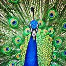 Peacock III by loiteke