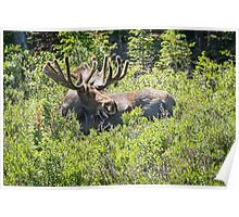 Smiling Bull Moose Poster