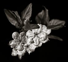 A monochrome Flower World : Plum Blossom by PhotomasWorld