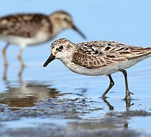 Here Come The Peeps / Semipalmated Sandpiper by Gary Fairhead