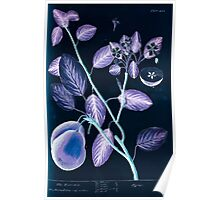 A curious herbal Elisabeth Blackwell John Norse Samuel Harding 1739 0510 The Pear Tree Inverted Poster