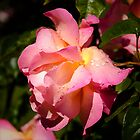 another rose...  by Jenny Ryan