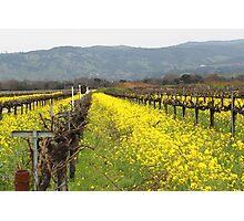 Napa Valley Grape Vineyard  Photographic Print