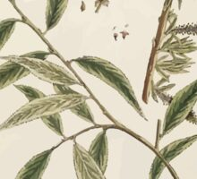 A curious herbal Elisabeth Blackwell John Norse Samuel Harding 1739 0194 The Willow Tree Sticker