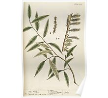A curious herbal Elisabeth Blackwell John Norse Samuel Harding 1739 0194 The Willow Tree Poster