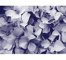Hydrangeas in crayon  Photographic Print