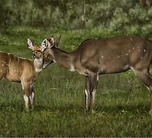 MOUNTAIN NYALA Tragelaphus buxtoni : Female with young ( NOT A PHOTOGRAPH) PLEASE READ BLURB by owen bell