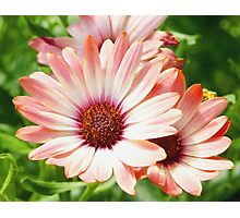 Macro Pink Cinnamon Tradwind Daisy Flower in the Garden Photographic Print