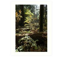 Cathedral Grove, Vancouver Island Art Print