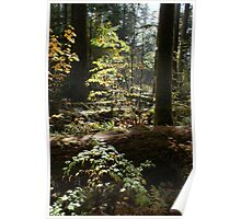 Cathedral Grove, Vancouver Island Poster