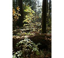 Cathedral Grove, Vancouver Island Photographic Print