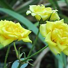 Three Yellow Roses by teresa731