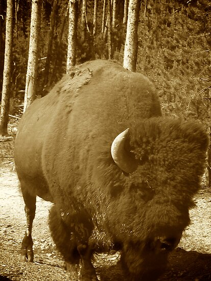 Bison Strolling by Pete Janes