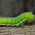 Little Green Caterpillar by Janet Rogerson