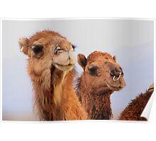 Camels Poster