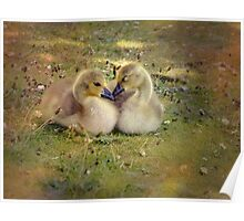 two young canadian geese Poster