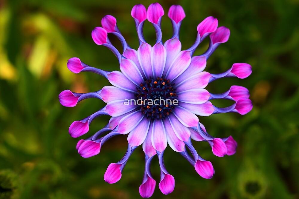 Osteospermum Whirligig  by andrachne