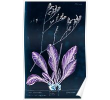 A curious herbal Elisabeth Blackwell John Norse Samuel Harding 1739 0580 Sea Lavender Inverted Poster