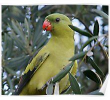Regent Parrot Poster