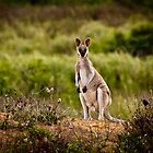 Whiptail Wallaby - Central Queensland by John Quixley