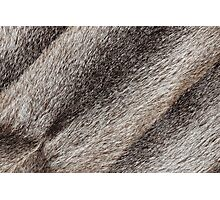 River rat coypu or nutria rough fur texture Photographic Print