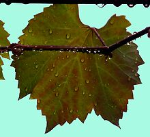 RAINDROPS ON GRAPE LEAVES. by Helen Akerstrom Photography