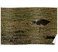 Lapwing Plover Poster